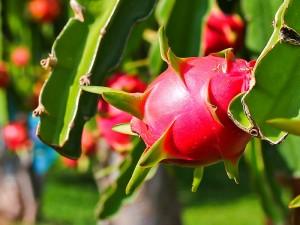 Pitaya bitkisi bakımı ve fiyatı