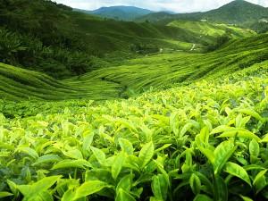Sri Lanka Çayı Nedir? Nasıl Demlenir?