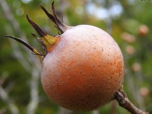 Töngel Meyvesi Nedir? Ne Zaman Toplanır? Faydaları Nelerdir?
