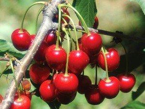 Vişne sapının faydaları ve zararları nelerdir? Çayı nasıl yapılır?