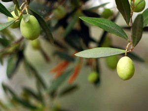 Zeytin yaprağının faydaları ve zararları nelerdir? Ne işe yarar?