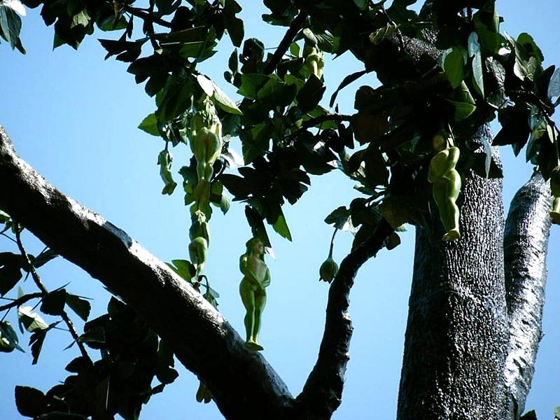 Vak Vak Meyvesi ve Ağacı Nedir? Faydaları ve Zararları Nelerdir?
