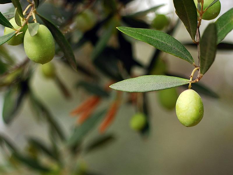 Zeytin yaprağının cilde ve saça faydaları, zararları